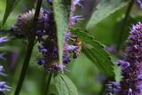 Fototapeta Do pokoju - abeilles butinant de l'agastache