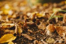 Beautiful Mushroom Boletus With Brown Cap In Autumn Leaves In Sunny Autumn Woods. Boletus Edulis. Edible Porcini Mushroom Growing In Fall Woods. Tasty Delicious Fungi. Copy Space
