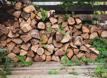Old Birch Firewood Overgrown With Ivy, Beautiful Rustic Background