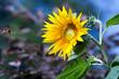 Duży ozdobny kwiat słonecznika w pięknych mocnych promieniach żółtego słońca