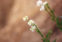 Blooming Flower Close-up On Field. Berteroa Incana Is A Species Of Flowering Plant In The Mustard Family, Brassicaceae. Its Common Names Include Hoary Alyssum, False Hoary Madwort.