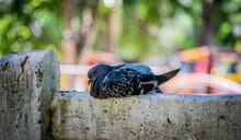 Pombo Dorme Em Grade De Concreto