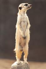 Lonely Meerkat Guarding His Friends