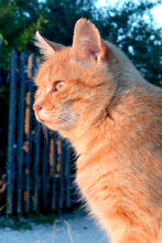Portrait Of Red Cat Sitting And Looking At Sunset.