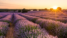 Lavender Field At Sunrise With Golden And Violet Colors