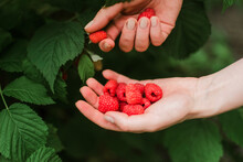 Hand Picked Freshly Raspberries In Garden