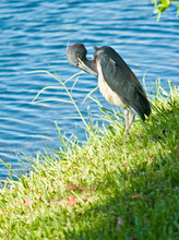 Front View, Medium Distance Of A Little Blue Heron Standing On The Edge Of A Tropical Lake, Preening Feathers And Waiting For Next Meal