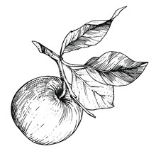 Hand-drawn Sketch Apple On A Branch With Leaves. Vintage Style Engraving. Ink And Pen Drawing.