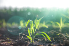 Maize Seedling, Young Green Corn Is Grown In The Field Young Corn.