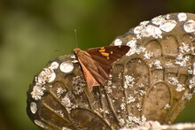 Silver Spotted Skipper Butterfly Epargyreus Clarus Resting On Lawn Ornament In Southern Michigan