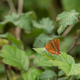 Fototapeta Londyn - Stunning image of rare Brown Hairstreak butterfly Thecla Butulae in English countrysdie wild flower meadow in Summer
