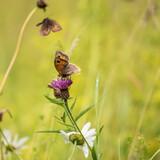 Fototapeta Londyn - Beautiful vibrant image of Gatekeeper Pyronia Tithonus in wild flower meadow in Summer