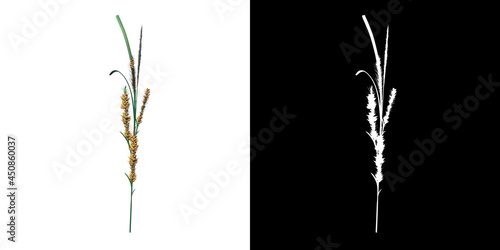 Fotografie, Obraz Front view of Plant ( Cyperaceae sedges 2) Tree png with alpha channel to cutout