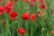 red poppies close-up in a field in summer among the green grass