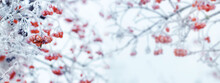 Winter Christmas Background With Red Berries Of Viburnum On A Light Background During A Snowfall, Panorama