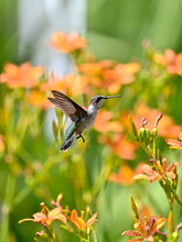 Ruby-throated Hummingbird Hovering To The Flower