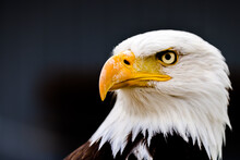 Close Up Images Of Bald And Golden Eagles