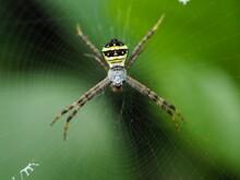 Wasp Spider (Argiope Bruennichi) On Web With Prey. Black And Yellow Stripe Argiope Bruennichi Wasp Spider On Web