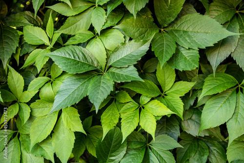 Canvas Print Virginia creeper plant background