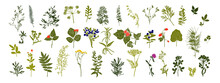 Botanical Set. Herbarium. Branches With Leaves, Herbs, Wild Plants. Garden And Forest Collection Of Leaves And Grass. Vector Illustration On White Background