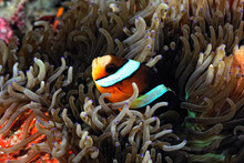 An Anemone And It's Clown Fish