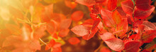 Autumn Bush With Blueberry Leaves. Vaccinium Corymbosum Leaves Bright Burgundy Red Color In The Garden In Fall. Gardening And Nature Concept. Natural Beautiful Colors Of Autumn. Banner. Flare