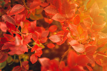 Autumn Bush With Blueberry Leaves. Vaccinium Corymbosum Leaves Bright Burgundy Red Color In The Garden In Fall. Gardening And Nature Concept. Natural Beautiful Colors Of Autumn. Flare