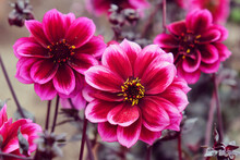 Pink Dahlia 'Dreamy Nights'  In Flower