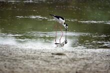 Black-necked Stilt (Himantopus Mexicanus) Wading In A Pond In Ayampe, Ecuador