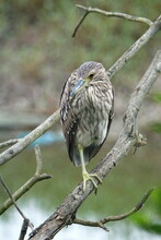 Juvenile Black-crowned Night Heron (Nycticorax Nycticorax) Perched On A Branch In Ayampe, Ecuador