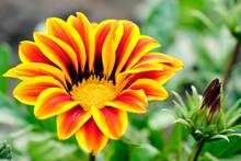 Gazania Flower Or African Daisy