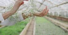 Female Hand With White Flowers In Greenhouse.