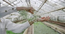 Female Hands With White Flowers In Greenhouse.