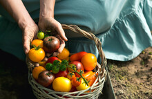 Hands Of A Girl With Tomatoes Close-up. A Farmer In A Cotton Apron Holds Fruit Next To A Wicker Basket. The Concept Of Harvesting In A Greenhouse.