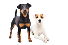 Two Dogs Of Breed Jagdterrier And Parson Russell Terrier Together Isolated On White Background