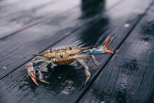 Live Crab With Vibrant Claws On A Wooden Pier.