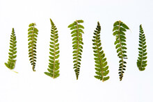 Seven Small Dried Fern Leaves In A Row, Ascending And Descending In Sizes, Against White Background