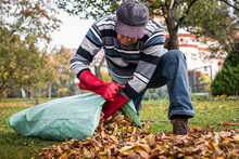 Senior Man Cleaning Garden From Fallen Leaves. Raking And Gardening In Fall Season. Putting Autumn Leaf Into Plastic Bag For Composting