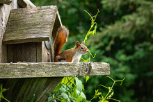 Red Squirrel Lives In Bird House.