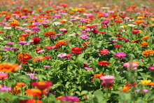 Field Of Flowers Zinnias