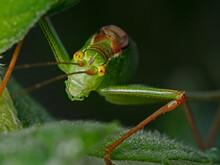 Speckled Bush Cricket In The Spotlight (Leptophyes Punctatissima)