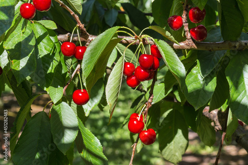 Obraz na plátně closeup of stella cherry tree with ripe red cherries hanging on branch and blurr