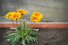 Close Up Of Gazania Flowers Or African Daisies In Flower Pot