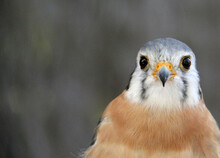 Close Up Of A Red Tailed Hawk