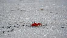Sally Lightfoot Crab Going Into A Hole On The Beach In Las Penas, Ecuador