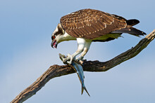 Juvenile Osprey In Tree With Large Fish