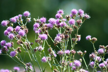 Multiple Creeping Thistle Flowers View With Foreground Focus Of