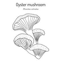 Oyster Fungus Pleurotus Ostreatus , Edible And Medicinal Mushroom