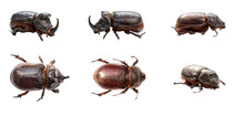 Rhinoceros Beetles Are Isolated On A White Background