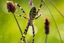 Close Up Wasp Spider, Argiope Bruennichi Sitting On Grass